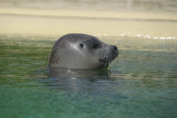 MeiseReise Seehund Norddeich